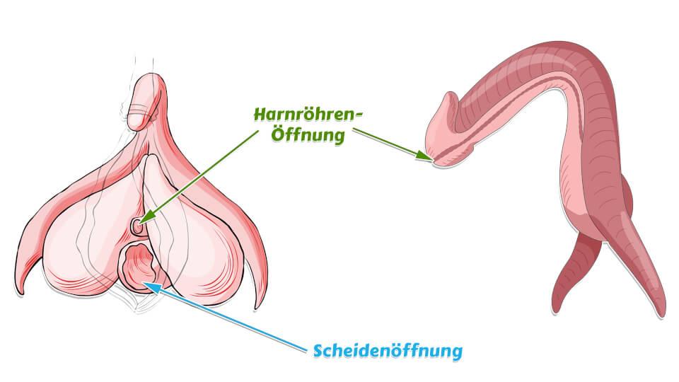 Klitoris Penis Vergleich