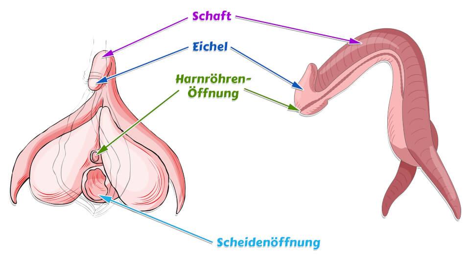 Klitoris Schaft