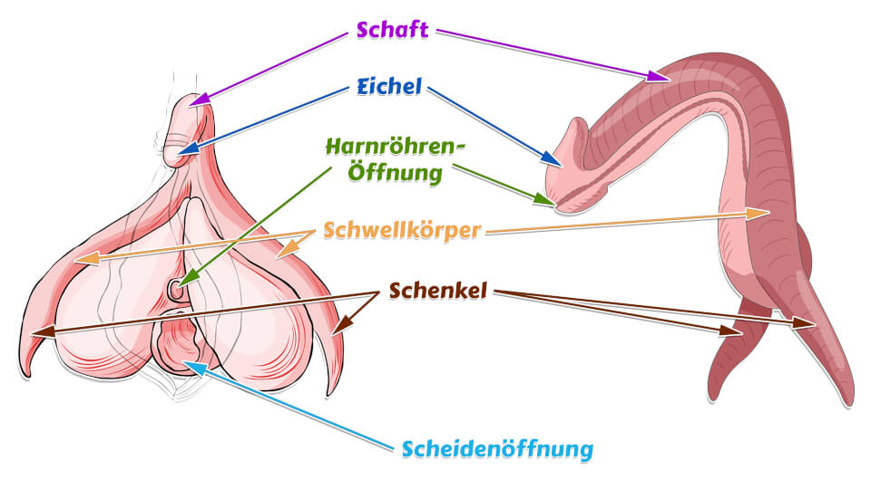 Klitoris Schenkel