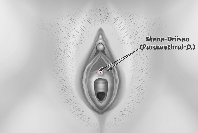Skene-Drüsen Paraurethraldrüsen
